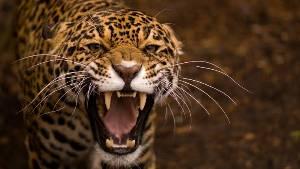 avatar_fierce_cheetah